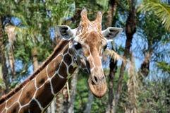 στενός giraffe reticulated επάνω στοκ εικόνες