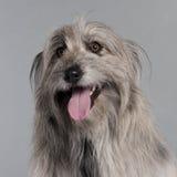 στενός pyrenean ποιμένας σκυλιών Στοκ εικόνες με δικαίωμα ελεύθερης χρήσης