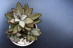 στενός succulent επάνω λουλουδ στοκ φωτογραφία