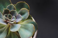 στενός succulent επάνω λουλουδιών Στοκ φωτογραφίες με δικαίωμα ελεύθερης χρήσης
