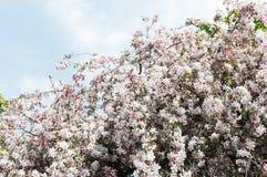 στενό δέντρο ανθών μήλων επάνω Στοκ Φωτογραφία