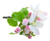 στενό δέντρο ανθών μήλων επάνω Στοκ εικόνα με δικαίωμα ελεύθερης χρήσης