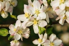 στενό δέντρο ανθών μήλων επάνω Στοκ Εικόνα