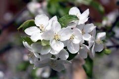 στενό δέντρο ανθών μήλων επάνω Στοκ Φωτογραφίες