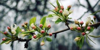 στενό δέντρο λουλουδιών ανθών μήλων επάνω Άνθιση Spribg Εκλεκτής ποιότητας επίδραση Στοκ φωτογραφία με δικαίωμα ελεύθερης χρήσης