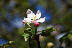 στενό δέντρο λουλουδιών ανθών μήλων επάνω Στοκ φωτογραφίες με δικαίωμα ελεύθερης χρήσης