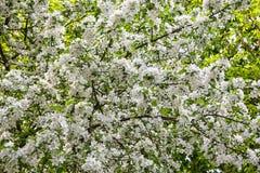 στενό δέντρο λουλουδιών ανθών μήλων επάνω Στοκ Εικόνες