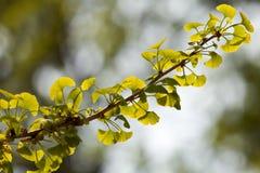 στενό δέντρο ginkgo biloba επάνω στοκ φωτογραφίες με δικαίωμα ελεύθερης χρήσης