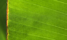 στενό ακραίο πράσινο φύλλ&omicro στοκ εικόνα