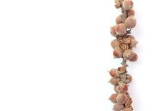 στενό απομονωμένο κώνος λευκό πεύκων ανασκόπησης επάνω Στοκ εικόνες με δικαίωμα ελεύθερης χρήσης