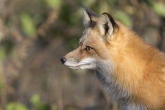 στενό βόρειο φωτογραφισμένο κόκκινο Μινεσότας αλεπούδων επάνω Στοκ Φωτογραφίες