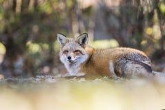 στενό βόρειο φωτογραφισμένο κόκκινο Μινεσότας αλεπούδων επάνω Στοκ εικόνα με δικαίωμα ελεύθερης χρήσης