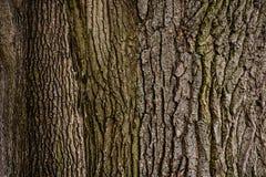 στενό βλασταημένο δέντρο φλοιών επάνω Στοκ Φωτογραφία