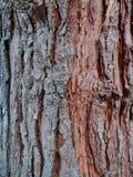 στενό βλασταημένο δέντρο φλοιών επάνω Στοκ Εικόνα