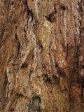 στενό βλασταημένο δέντρο φλοιών επάνω Στοκ Εικόνες