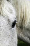 στενό γκρίζο άλογο επάνω Στοκ εικόνα με δικαίωμα ελεύθερης χρήσης