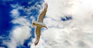 στενό γλιστρώντας seagull πτήσης επάνω Στοκ Εικόνα