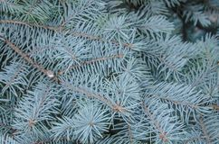 στενό δέντρο έλατου κλάδων επάνω Στοκ Εικόνες