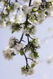 στενό δέντρο ανθών μήλων επάνω Χρόνος οπωρώνων της Apple την άνοιξη Ηλιόλουστη ημέρα άνοιξη στον οπωρώνα Στοκ Εικόνες