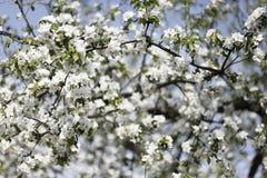 στενό δέντρο ανθών μήλων επάνω Χρόνος οπωρώνων της Apple την άνοιξη Ηλιόλουστη ημέρα άνοιξη στον οπωρώνα Στοκ Φωτογραφίες
