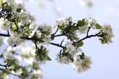 στενό δέντρο ανθών μήλων επάνω Χρόνος οπωρώνων της Apple την άνοιξη Ηλιόλουστη ημέρα άνοιξη στον οπωρώνα Στοκ εικόνα με δικαίωμα ελεύθερης χρήσης