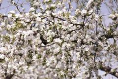 στενό δέντρο ανθών μήλων επάνω Χρόνος οπωρώνων της Apple την άνοιξη Ηλιόλουστη ημέρα άνοιξη στον οπωρώνα Στοκ Φωτογραφία