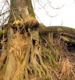 στενό δέντρο ρίζας επάνω Στοκ εικόνα με δικαίωμα ελεύθερης χρήσης