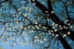 στενό δέντρο dogwood επάνω Στοκ φωτογραφία με δικαίωμα ελεύθερης χρήσης