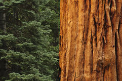 στενό δασικό δέντρο redwwod επάνω στοκ φωτογραφίες με δικαίωμα ελεύθερης χρήσης