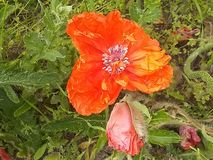 Στενό επάνω νεκρό λουλούδι λουλουδιών παπαρουνών στοκ εικόνα