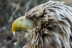 Στενό επάνω πορτρέτο αετών Στοκ Φωτογραφίες