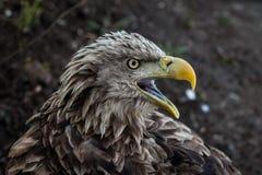 Στενό επάνω πορτρέτο αετών Στοκ Εικόνα