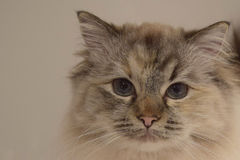 Στενό επάνω πρόσωπο γατακιών Ragdoll Στοκ εικόνες με δικαίωμα ελεύθερης χρήσης