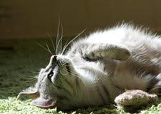 Στενό επάνω, σοβαρό να φανεί πορτρέτου γατών γάτα στο μουτζουρωμένο υπόβαθρο που εξετάζει το θεατή με το διάστημα για τη διαφήμισ Στοκ Εικόνα