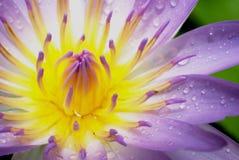 Στενό επάνω υπόβαθρο Lotus Στοκ Φωτογραφίες