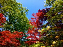 στενό λευκό τουλιπών κόκκινων ανοίξεων κήπων λουλουδιών κερασιών επάνω Στοκ Εικόνες