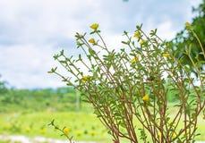 στενό λευκό τουλιπών κόκκινων ανοίξεων κήπων λουλουδιών κερασιών επάνω Στοκ Φωτογραφίες
