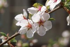 στενό λευκό τουλιπών κόκκινων ανοίξεων κήπων λουλουδιών κερασιών επάνω Στοκ φωτογραφίες με δικαίωμα ελεύθερης χρήσης