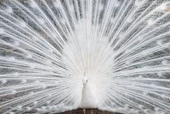 στενό λευκό peacock επάνω Στοκ φωτογραφία με δικαίωμα ελεύθερης χρήσης