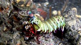 Στενό Ινδονησία Mantis Lembeh Peacock φιλμ μικρού μήκους