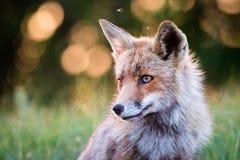 στενό κόκκινο αλεπούδων επάνω Στοκ Φωτογραφία