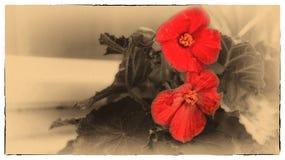 στενό κόκκινο λουλουδ&i Στοκ εικόνες με δικαίωμα ελεύθερης χρήσης