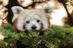 στενό κόκκινο panda επάνω Στοκ εικόνα με δικαίωμα ελεύθερης χρήσης