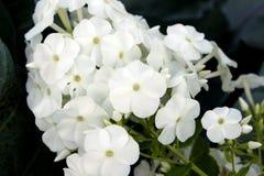 στενό λευκό λουλουδιώ&n Στοκ φωτογραφίες με δικαίωμα ελεύθερης χρήσης