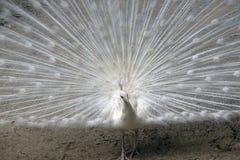 στενό λευκό peacock επάνω Στοκ Φωτογραφία