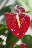 στενό λουλούδι anturium επάνω Στοκ Εικόνες