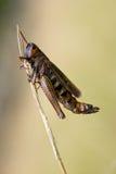 στενό νεκρό grasshopper επάνω Στοκ φωτογραφίες με δικαίωμα ελεύθερης χρήσης