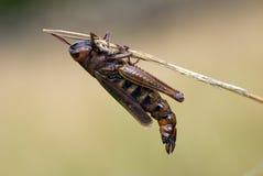 στενό νεκρό grasshopper επάνω Στοκ Εικόνες