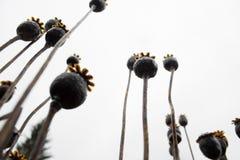 στενό ξηρό φυτό οπίου επάνω Στοκ Εικόνες