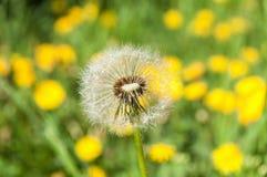 στενό λουλούδι πικραλίδ Στοκ Εικόνες